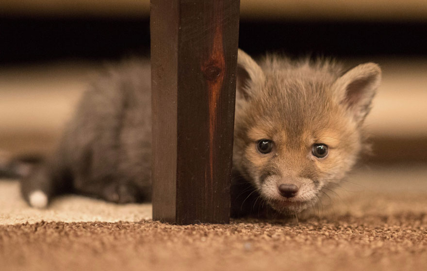orphaned-fox-cub-adopted-dog-ziva-dinozzo-germany-11