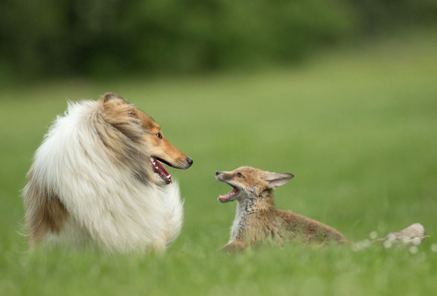 orphaned-fox-cub-adopted-dog-ziva-dinozzo-germany-12