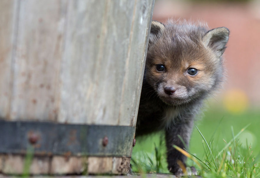 orphaned-fox-cub-adopted-dog-ziva-dinozzo-germany-18