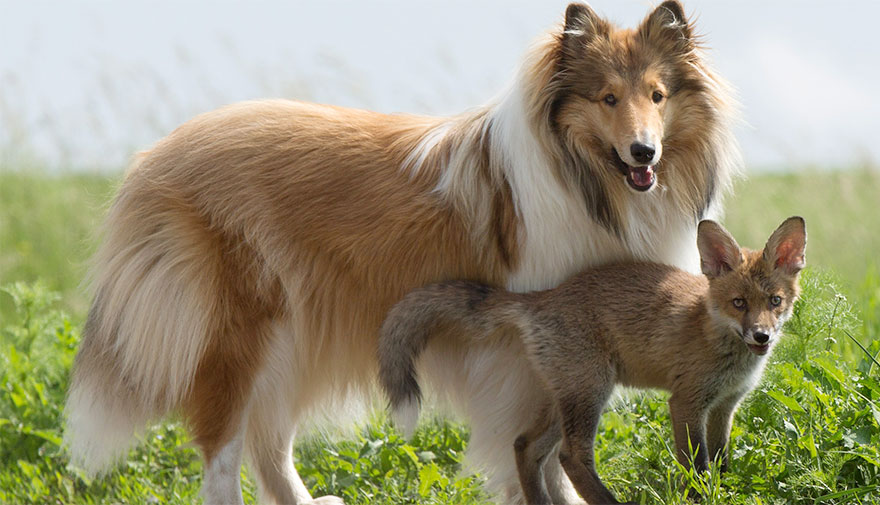 orphaned-fox-cub-adopted-dog-ziva-dinozzo-germany-2