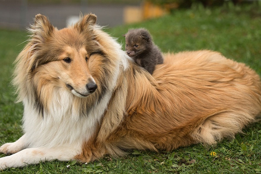 orphaned-fox-cub-adopted-dog-ziva-dinozzo-germany-20