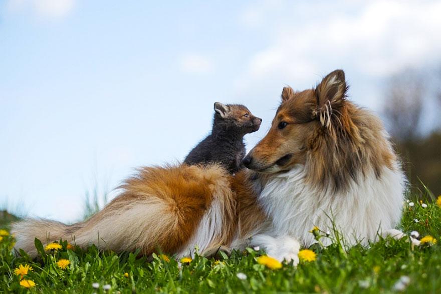 orphaned-fox-cub-adopted-dog-ziva-dinozzo-germany-21