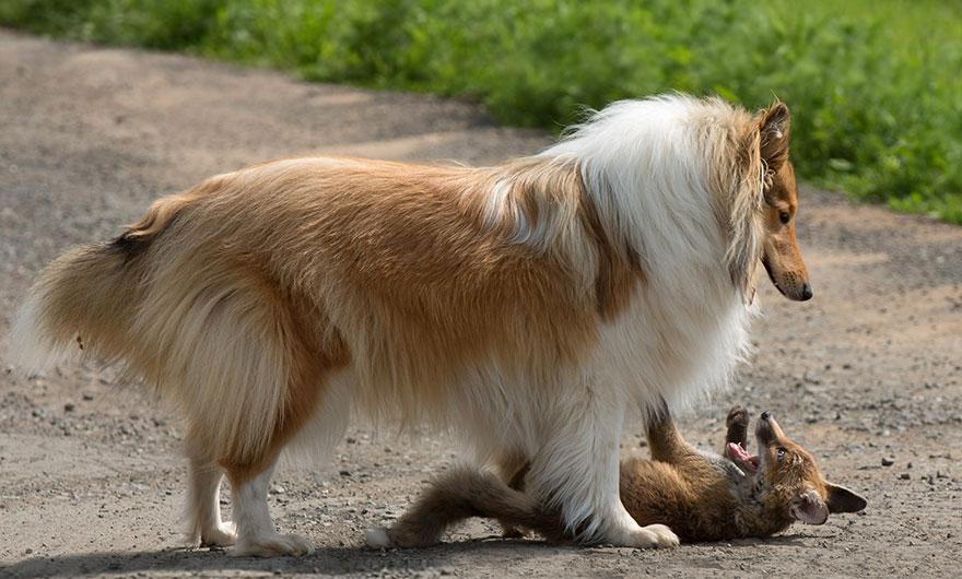 orphaned-fox-cub-adopted-dog-ziva-dinozzo-germany-22
