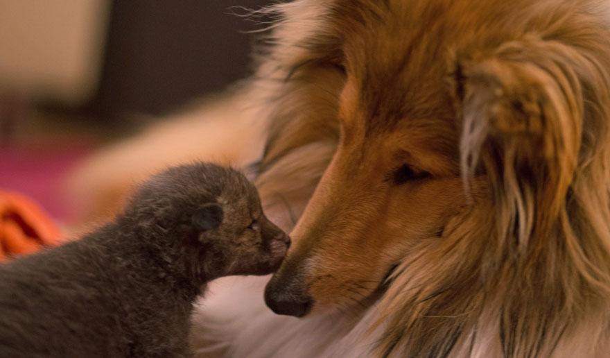 orphaned-fox-cub-adopted-dog-ziva-dinozzo-germany-4