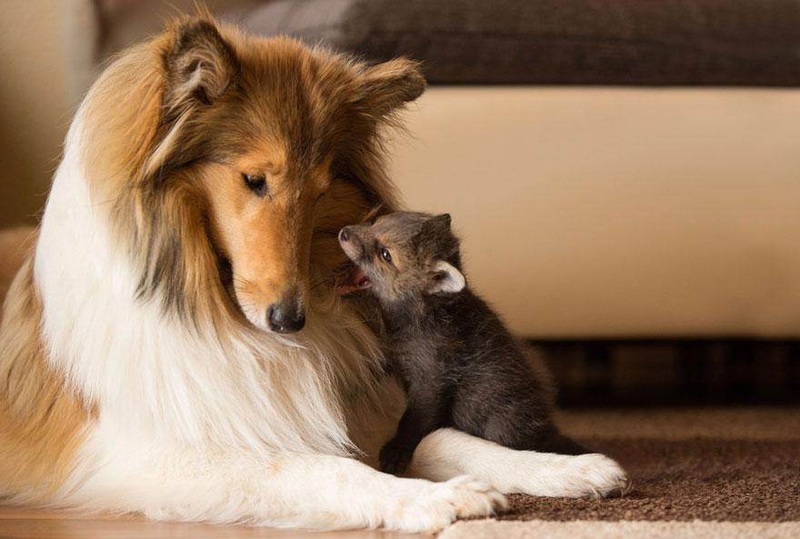 orphaned-fox-cub-adopted-dog-ziva-dinozzo-germany-5