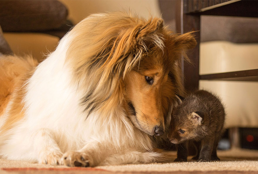 orphaned-fox-cub-adopted-dog-ziva-dinozzo-germany-6