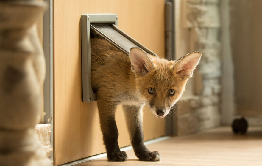 orphaned-fox-cub-adopted-dog-ziva-dinozzo-germany-7