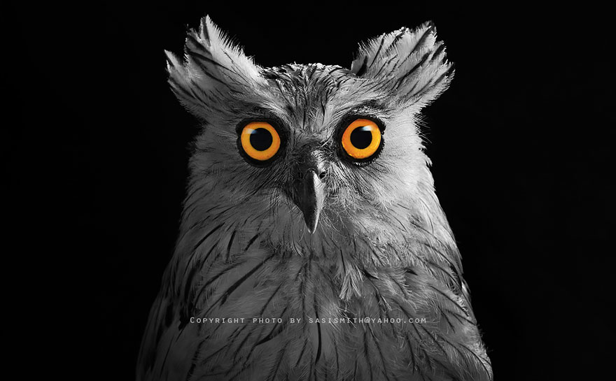 owl-photography-sasi-smit-25