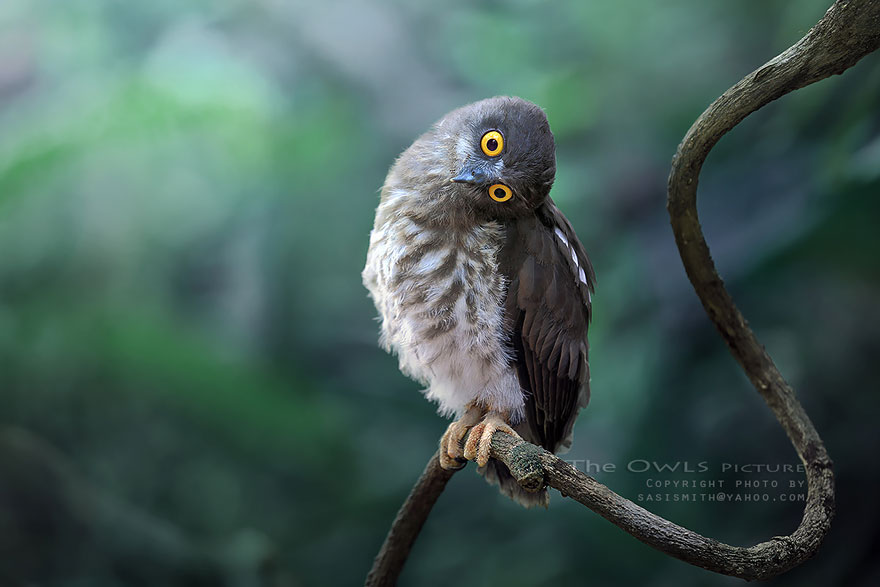 owl-photography-sasi-smit-31