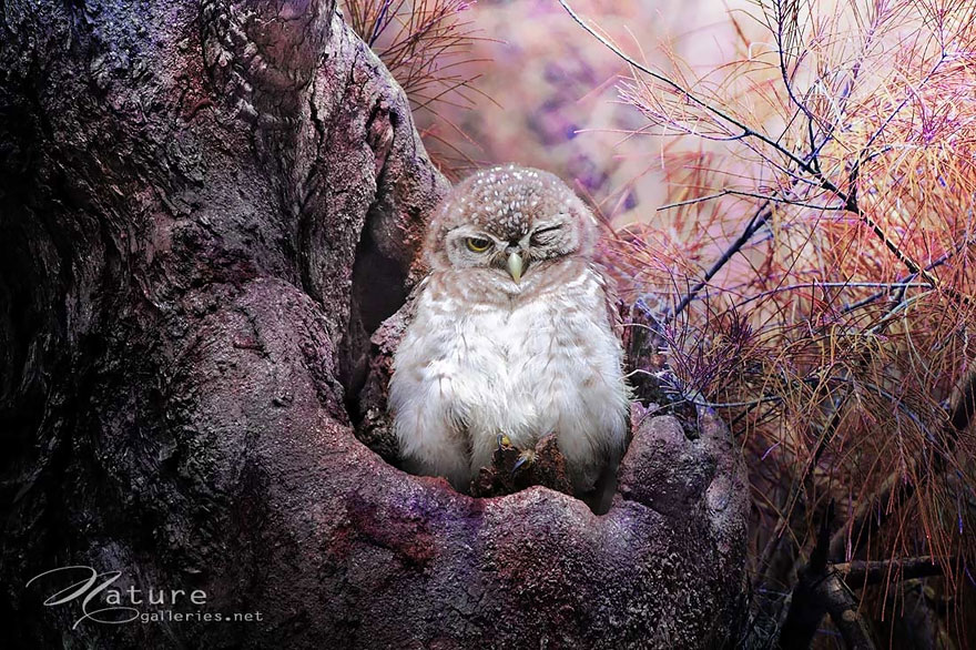 owl-photography-sasi-smit-4