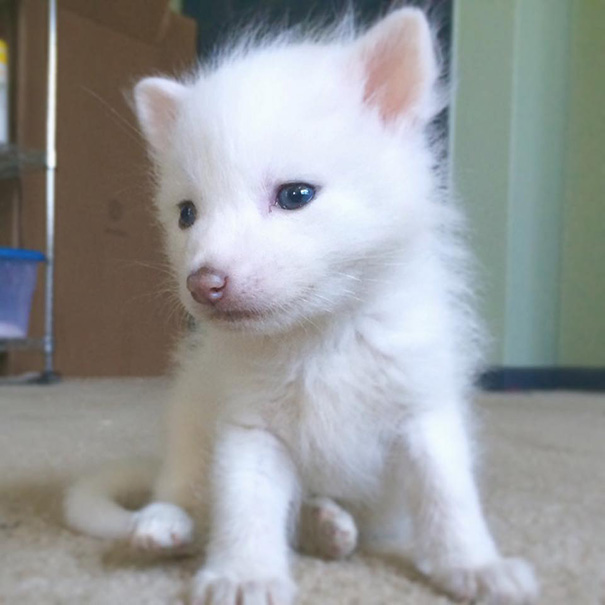 rylai-siberian-fox-red-silver-pet-domesticated-11