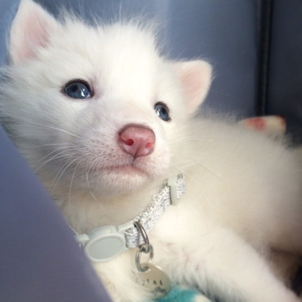 rylai-siberian-fox-red-silver-pet-domesticated-9