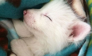 This Domesticated Baby Red Fox Is The Sleepiest Pet Ever