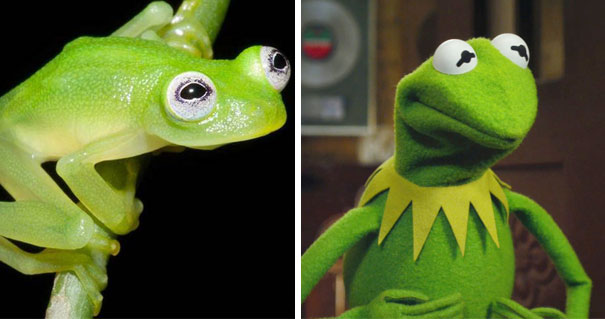Diane's Bare-hearted Glassfrog Looks Like Kermit The Frog