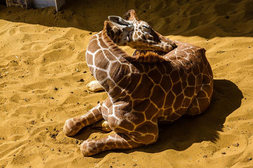 This is how giraffes sleep 13 pics bored panda - Girafe rigolote ...