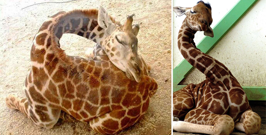 This Is How Giraffes Sleep 12 Pics Bored Panda