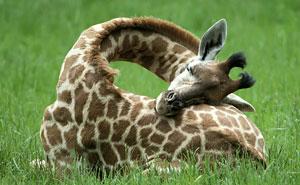 This Is How Giraffes Sleep (12+ pics)