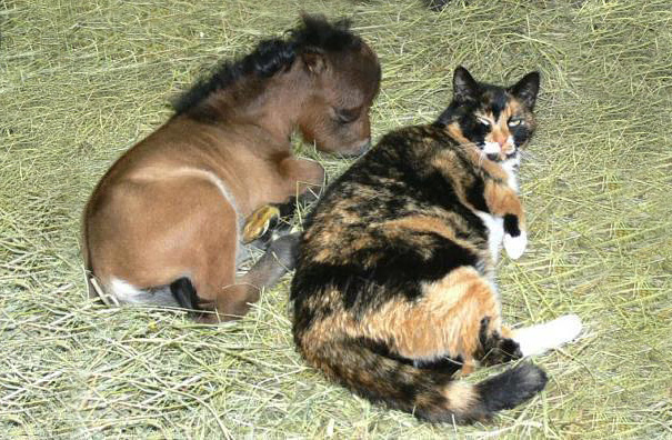 Miniature Horse With A Cat