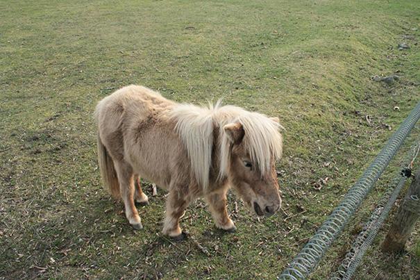 Meet Mini Horse
