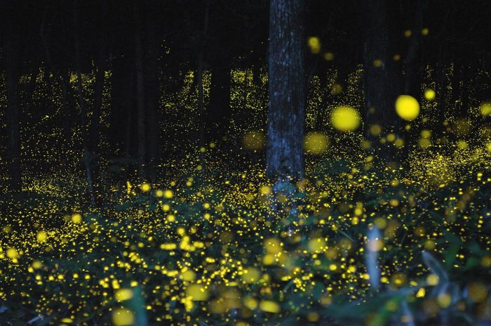 Firefly Forest In Chugoku Region, Japan.