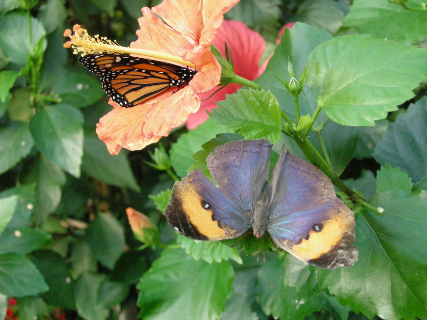 Butterfly And Butterfly On A Hibiscus Flower