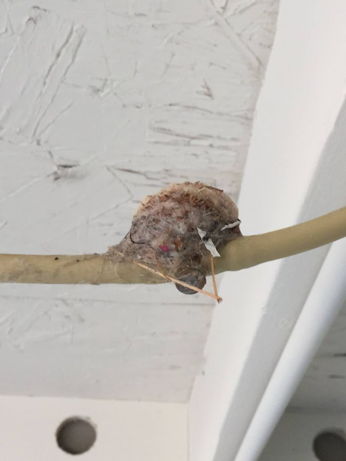 Hummingbird Nest That Mama Built On My Misting System Sprinkler Line.