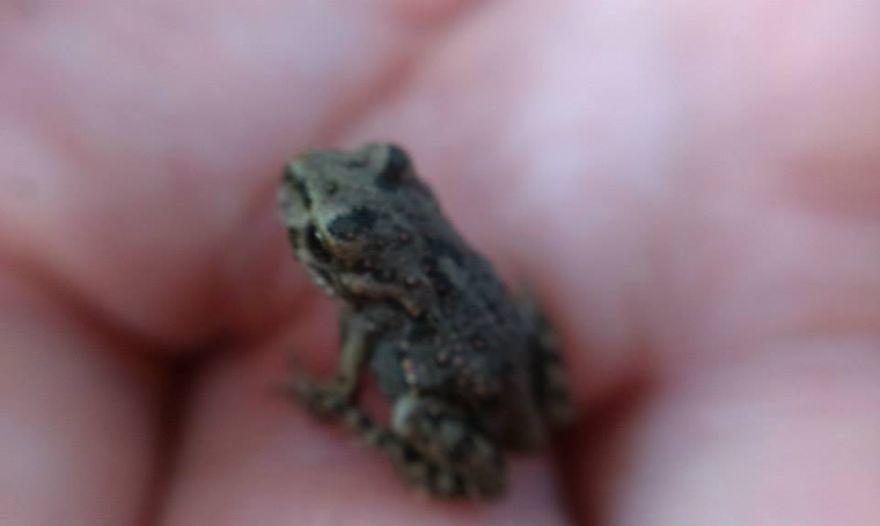 A Cute Ordinary European Toad :)
