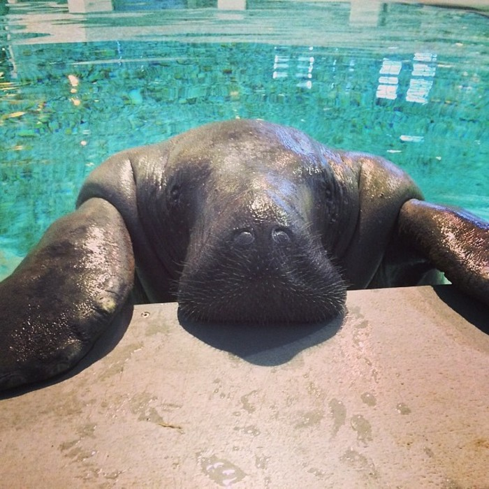 happy birthday snooty the world s oldest known manatee turns 66