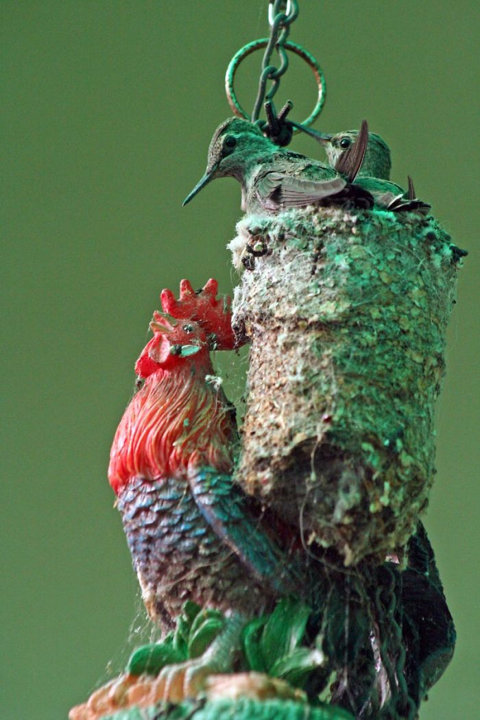 Anna's Hummingbird Triple Decker Nest On A Rooster Topped Wind Chime In San Jose, California