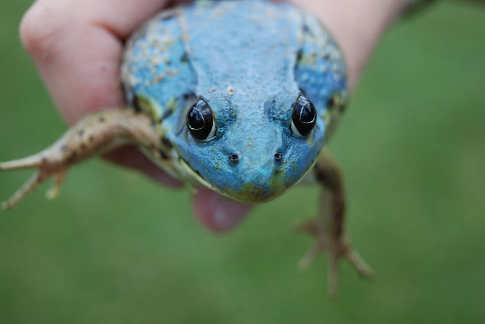 American Bull Frog, Missing Yellow Pigment