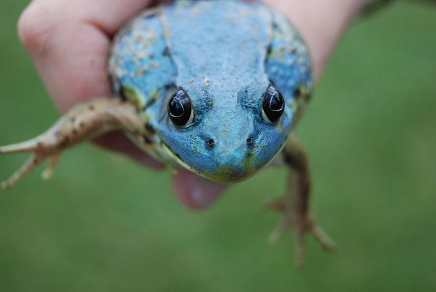 American Bull Frog, Missing Yellow Pigment