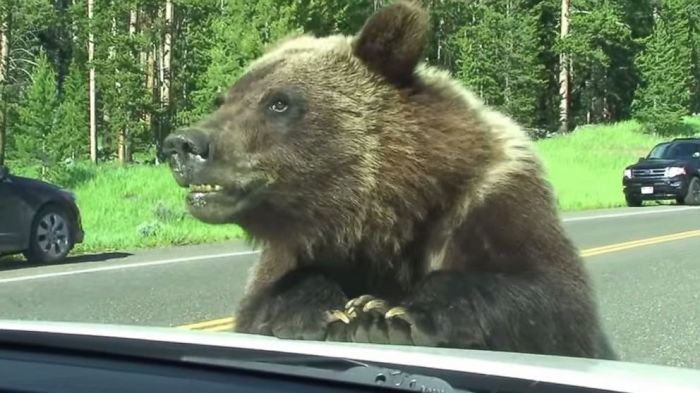 Grizzly Bear Can't Tear Itself Away From Family's Car