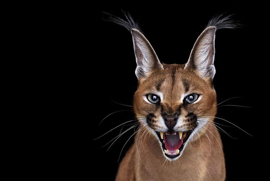 i create studio portraits of exotic animals looking
