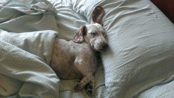 Slumbering Doxie
