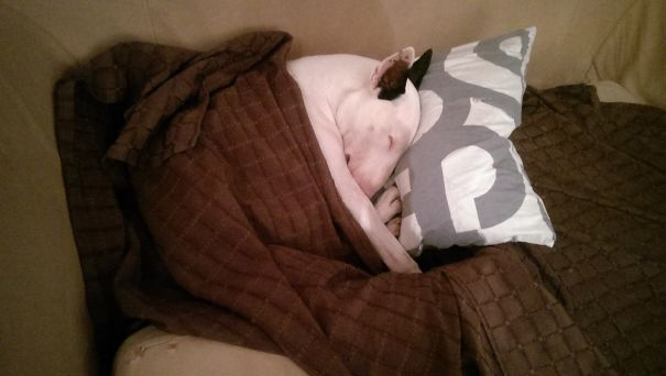 Pillows: My Bull Terrier's First Passion (behind Eating And Cuddles) !