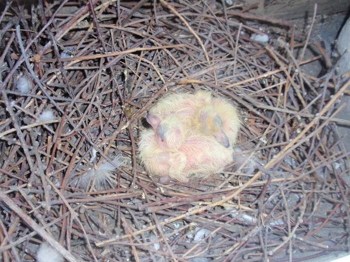 Pigeons Nest Right Behind Balcony's Door