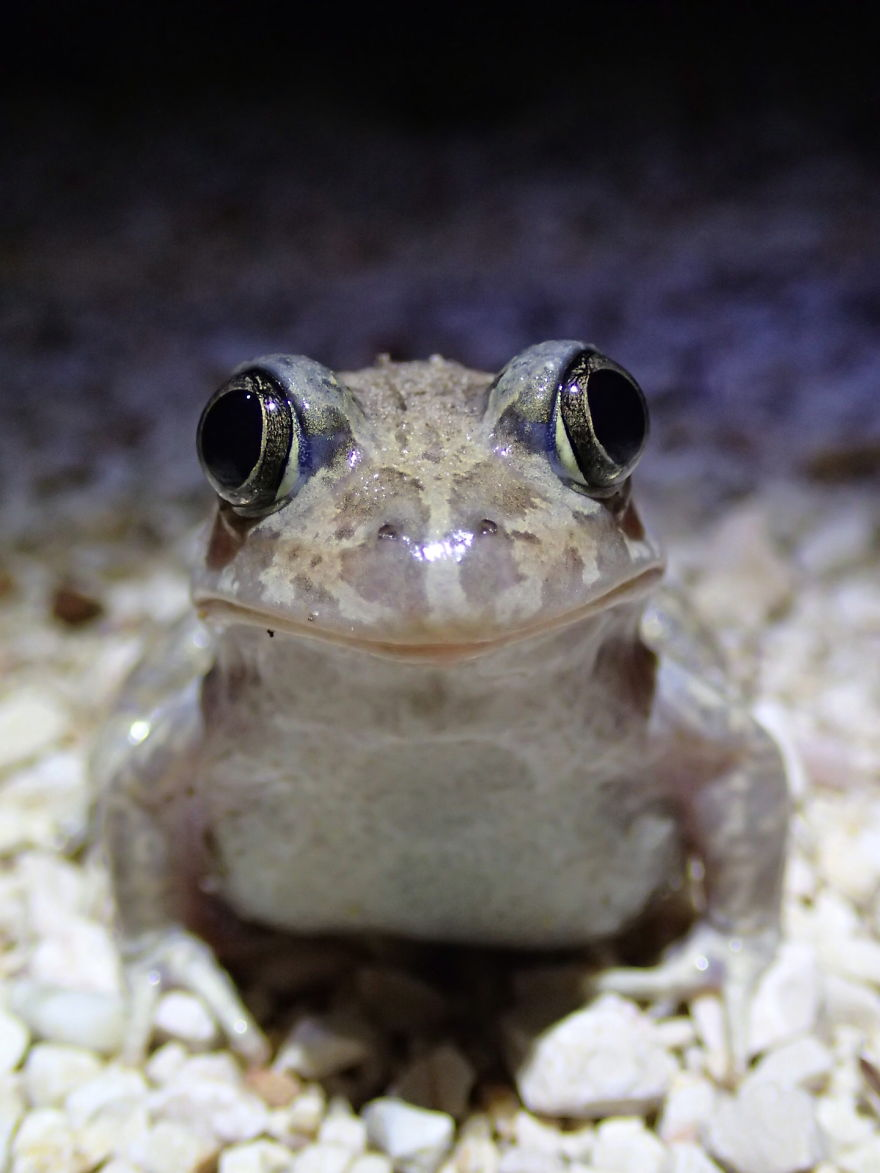 Iberian Spadefoot Toad