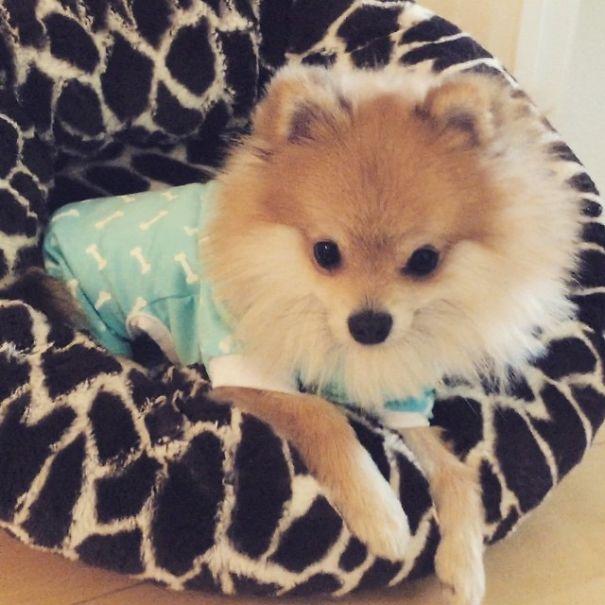 Pom Pom Chewy The Pajama Wearing Puppy Bored Panda