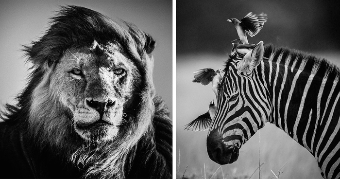 Black And White African Animal Photography