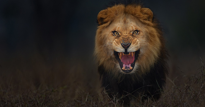 Photographer Shoots Angry Lion Photo Moments Before It Jumped At Him