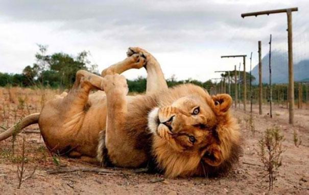 Lion Model