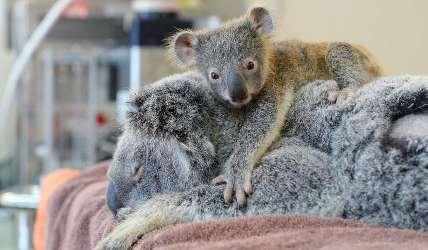 baby-koala-mom-surgery-australia-zoo-1