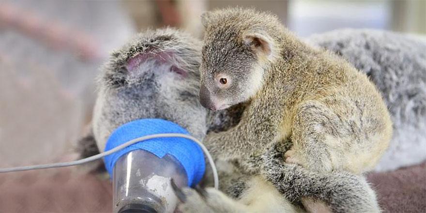 baby-koala-mom-surgery-australia-zoo-2