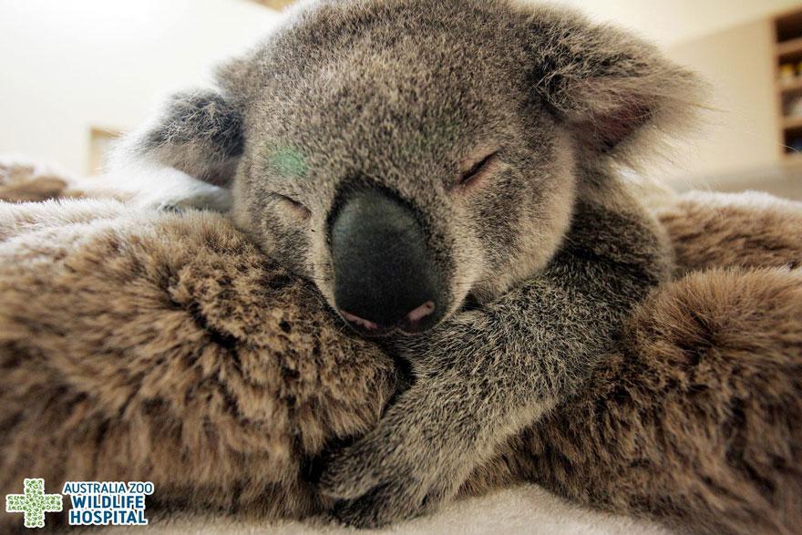 baby-koala-mom-surgery-australia-zoo-3