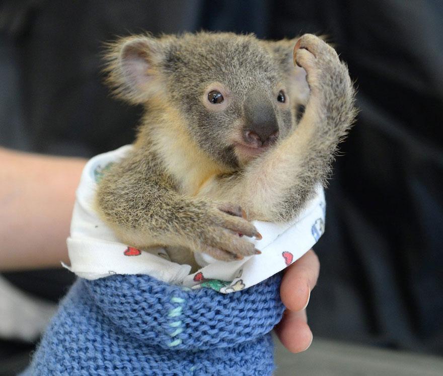 baby-koala-mom-surgery-australia-zoo-5