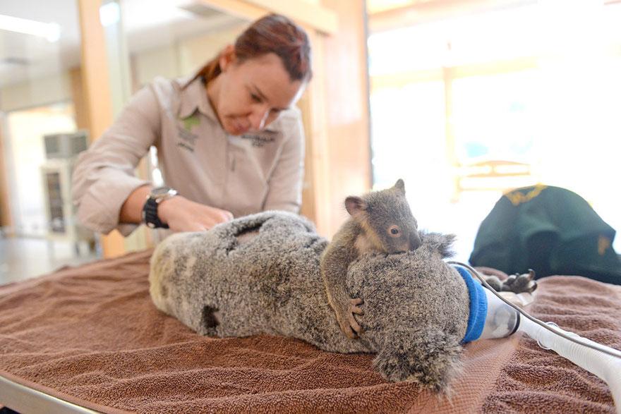 baby-koala-mom-surgery-australia-zoo-8