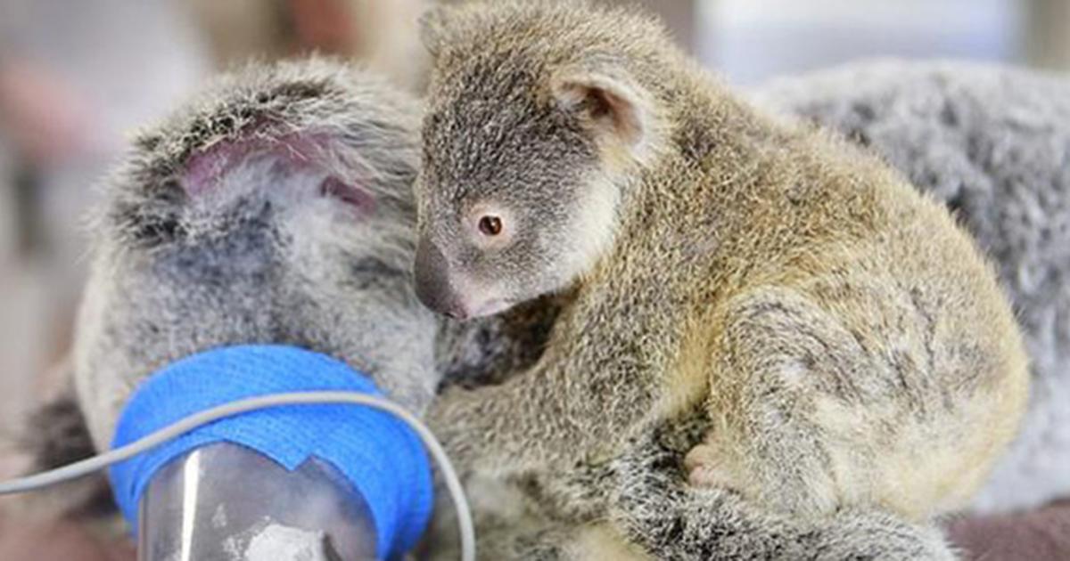 Baby koala hugs unconscious mom during life saving surgery bored panda - Pictures of koalas and baby koalas ...