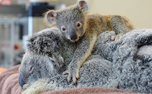 Baby Koala Hugs Unconscious Mom During Life-Saving Surgery
