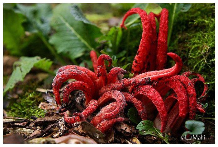 Octopus Stinkhorn