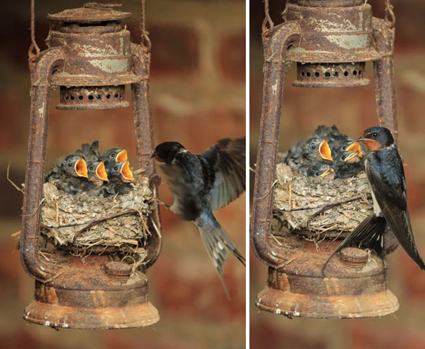 Swallow Nest In Old Lamp
